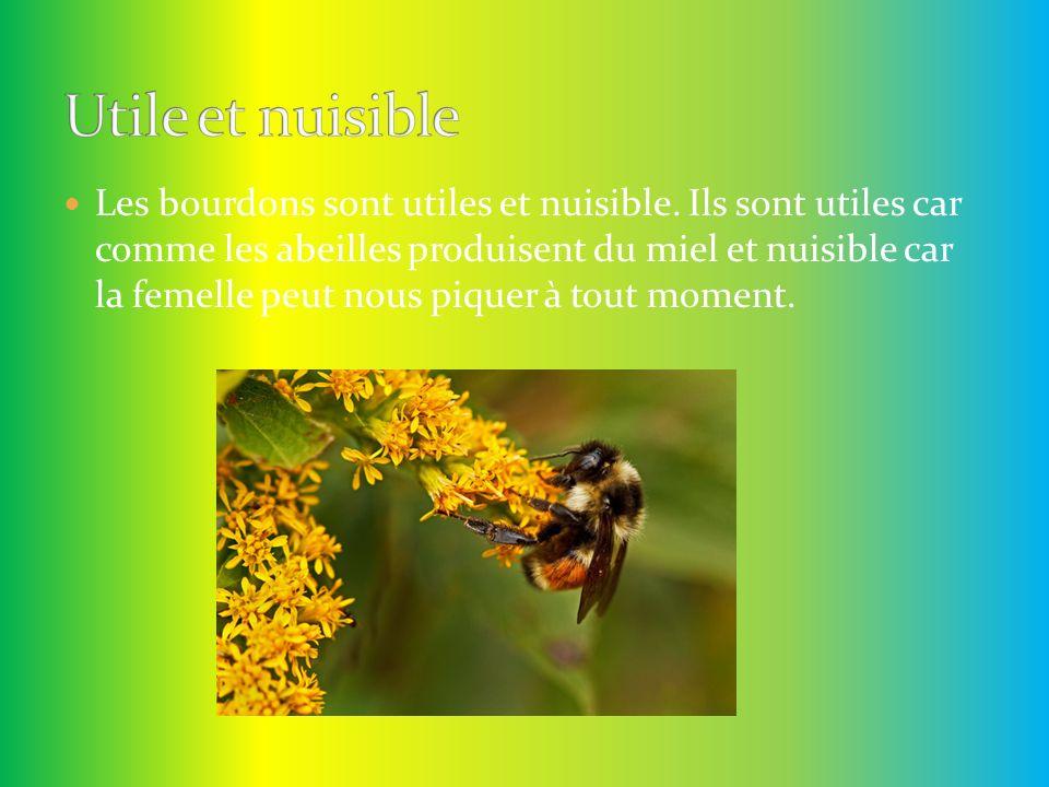 Les bourdons sont utiles et nuisible. Ils sont utiles car comme les abeilles produisent du miel et nuisible car la femelle peut nous piquer à tout mom
