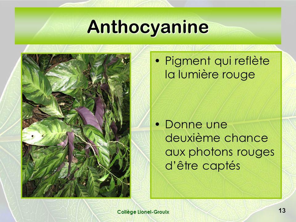 Anthocyanine Pigment qui reflète la lumière rouge Donne une deuxième chance aux photons rouges dêtre captés Collège Lionel-Groulx 13