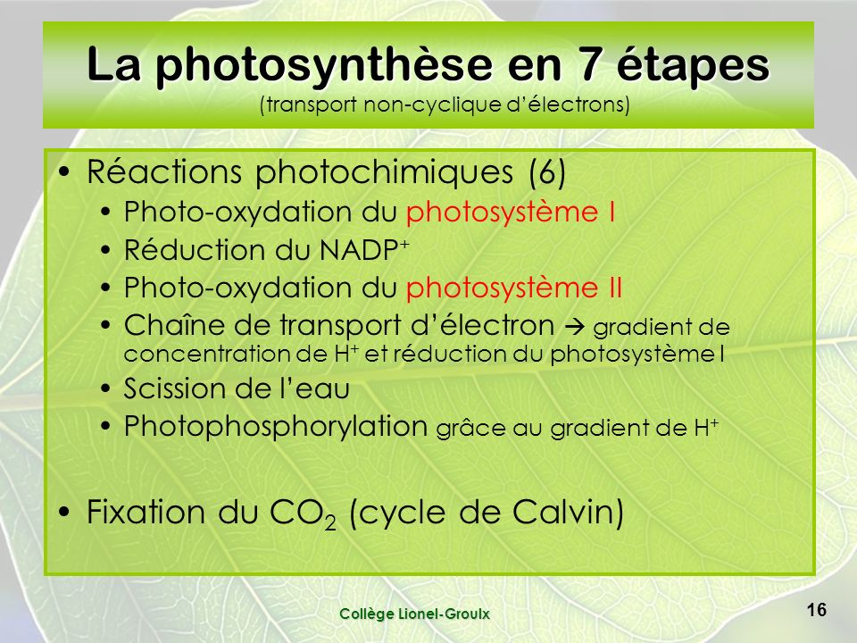 Collège Lionel-Groulx 16 La photosynthèse en 7 étapes La photosynthèse en 7 étapes (transport non-cyclique délectrons) Réactions photochimiques (6) Photo-oxydation du photosystème I Réduction du NADP + Photo-oxydation du photosystème II Chaîne de transport délectron gradient de concentration de H + et réduction du photosystème I Scission de leau Photophosphorylation grâce au gradient de H + Fixation du CO 2 (cycle de Calvin)