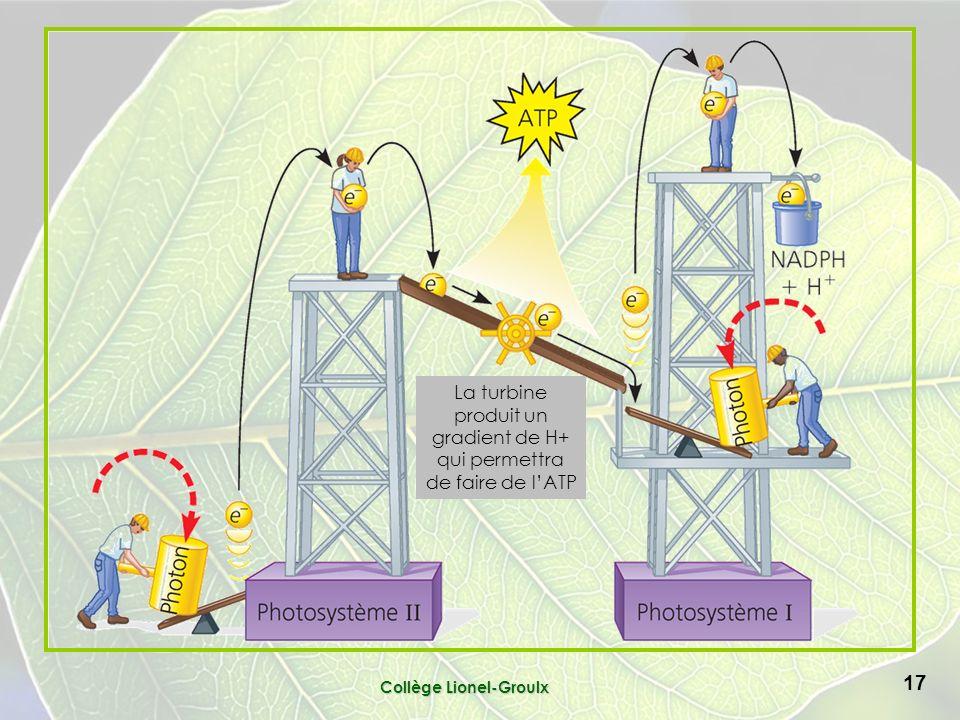 Collège Lionel-Groulx 17 La turbine produit un gradient de H+ qui permettra de faire de lATP