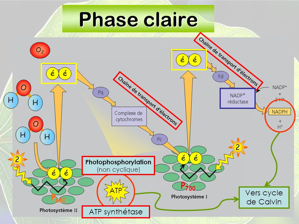 Collège Lionel-Groulx 18 Phase claire éé2 ATP H H O 2 éé éé éé Vers cycle de Calvin H H O O2O2 ATP synthétase P 680 P 700 Photophosphorylation (non cyclique)