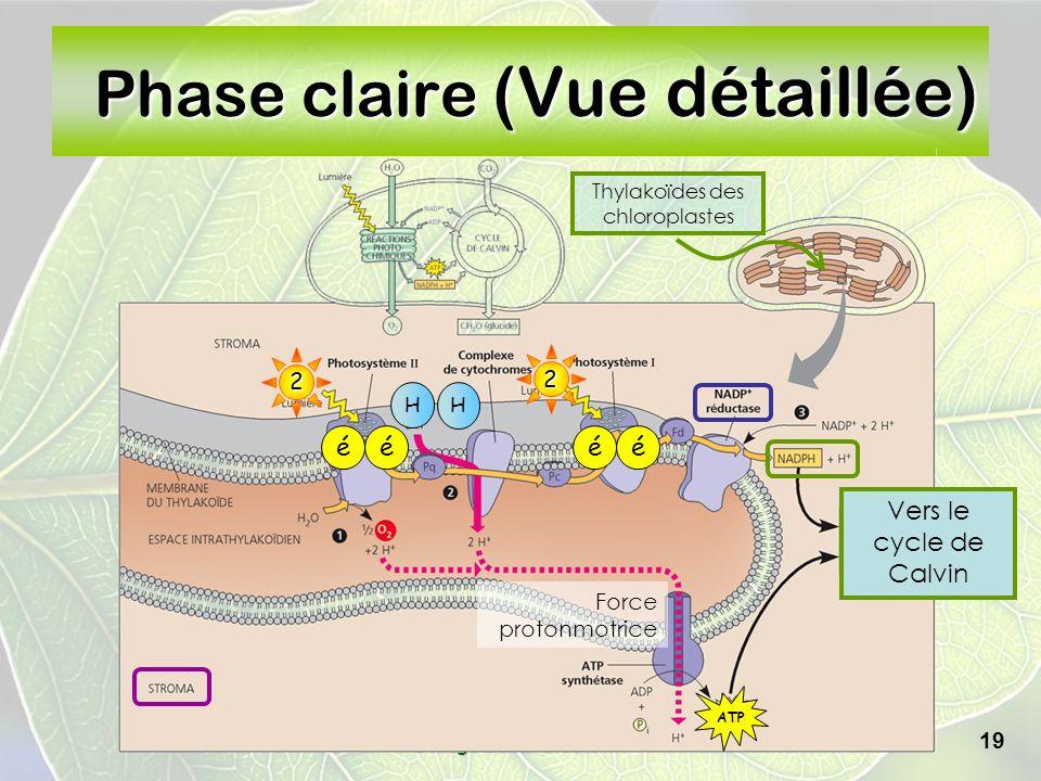 Collège Lionel-Groulx 19 Phase claire (Vue détaillée) Vers le cycle de Calvin Thylakoïdes des chloroplastes 2 H H éé2 éé ATP Force protonmotrice