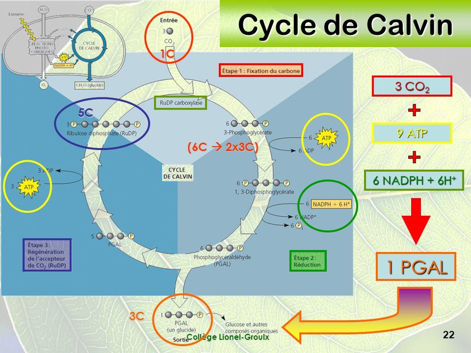 Collège Lionel-Groulx 22 Cycle de Calvin 3 CO 2 9 ATP 6 NADPH + 6H + 1 PGAL 5C 1C (6C 2x3C) 3C