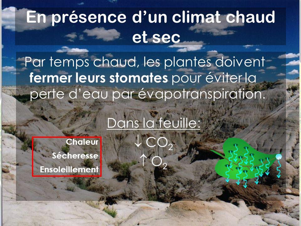Par temps chaud, les plantes doivent fermer leurs stomates pour éviter la perte deau par évapotranspiration.