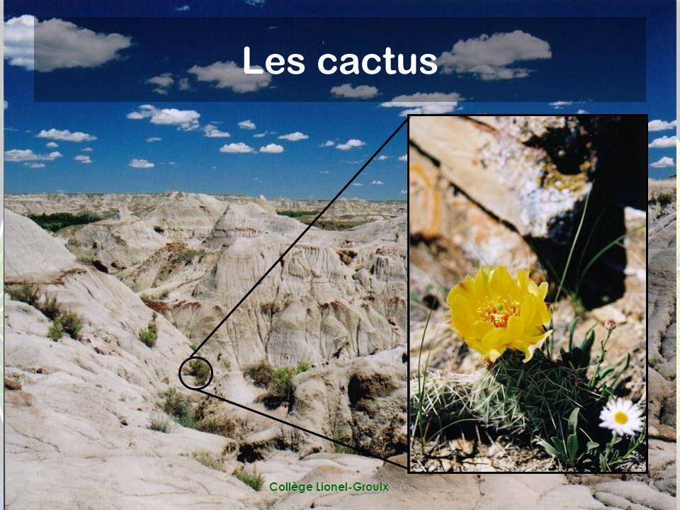 Collège Lionel-Groulx Les cactus