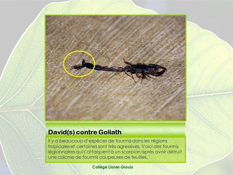 David(s) contre Goliath Il y a beaucoup despèces de fourmis dans les régions tropicales et certaines sont très agressives.