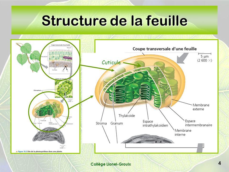 4 Structure de la feuille Cuticule