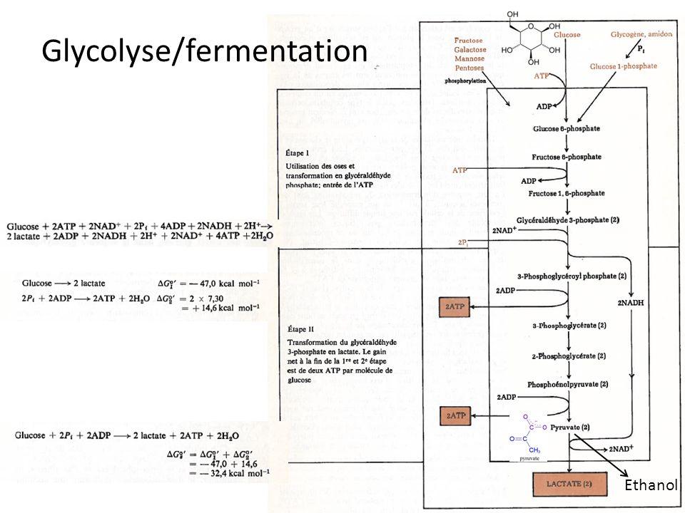 Glycolyse/fermentation Ethanol