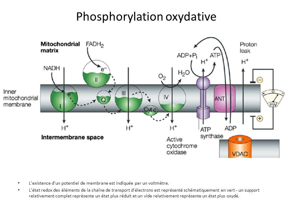 L'existence d'un potentiel de membrane est indiquée par un voltmètre. L'état redox des éléments de la chaîne de transport d'électrons est représenté s