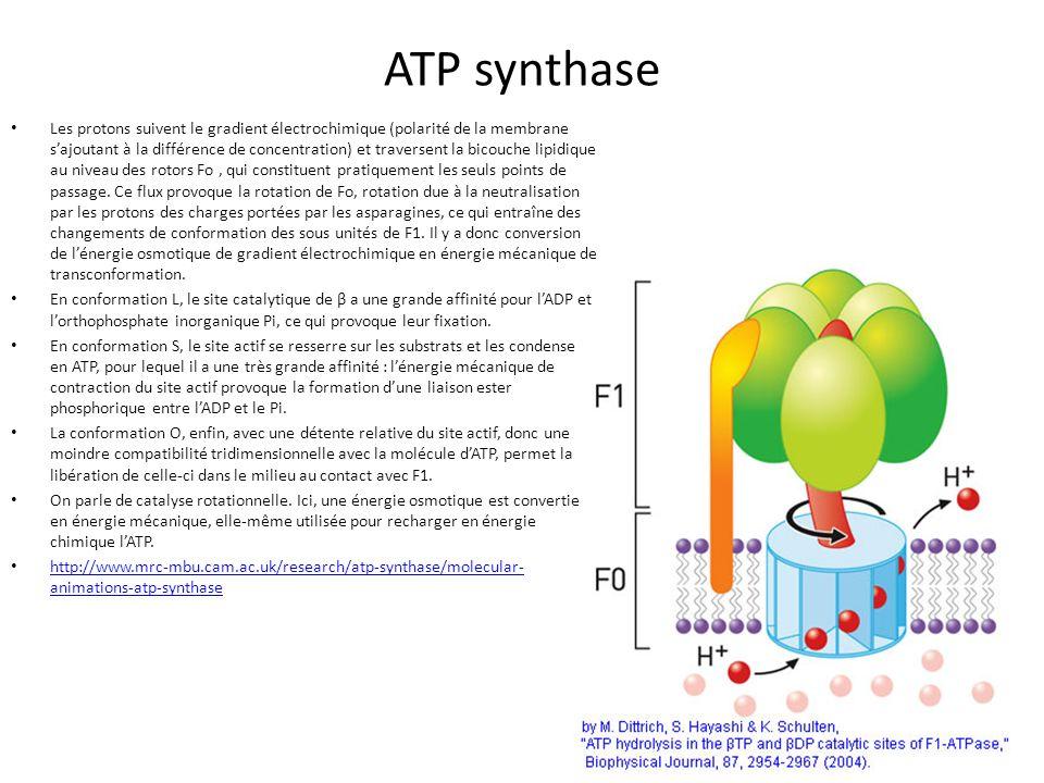 ATP synthase Les protons suivent le gradient électrochimique (polarité de la membrane sajoutant à la différence de concentration) et traversent la bic