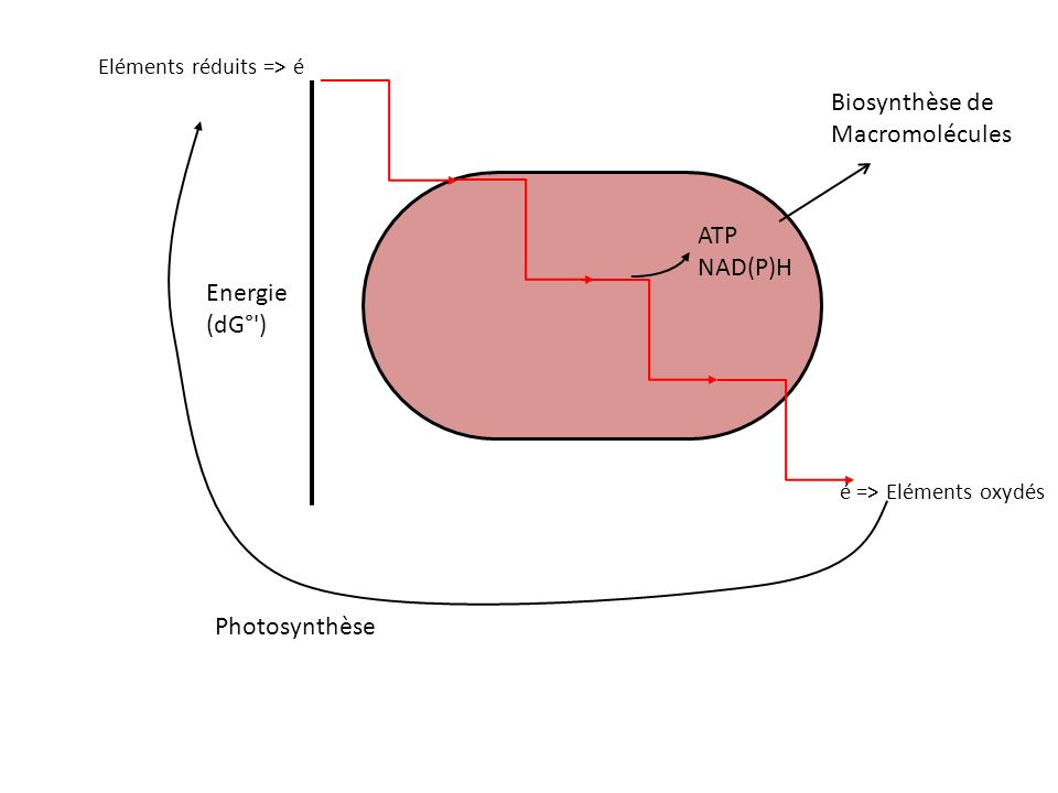 Eléments réduits => é é => Eléments oxydés Energie (dG°') Photosynthèse ATP NAD(P)H Biosynthèse de Macromolécules