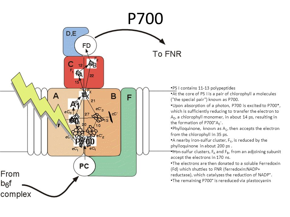 P700 PS I contains 11-13 polypeptides At the core of PS I is a pair of chlorophyll a molecules (