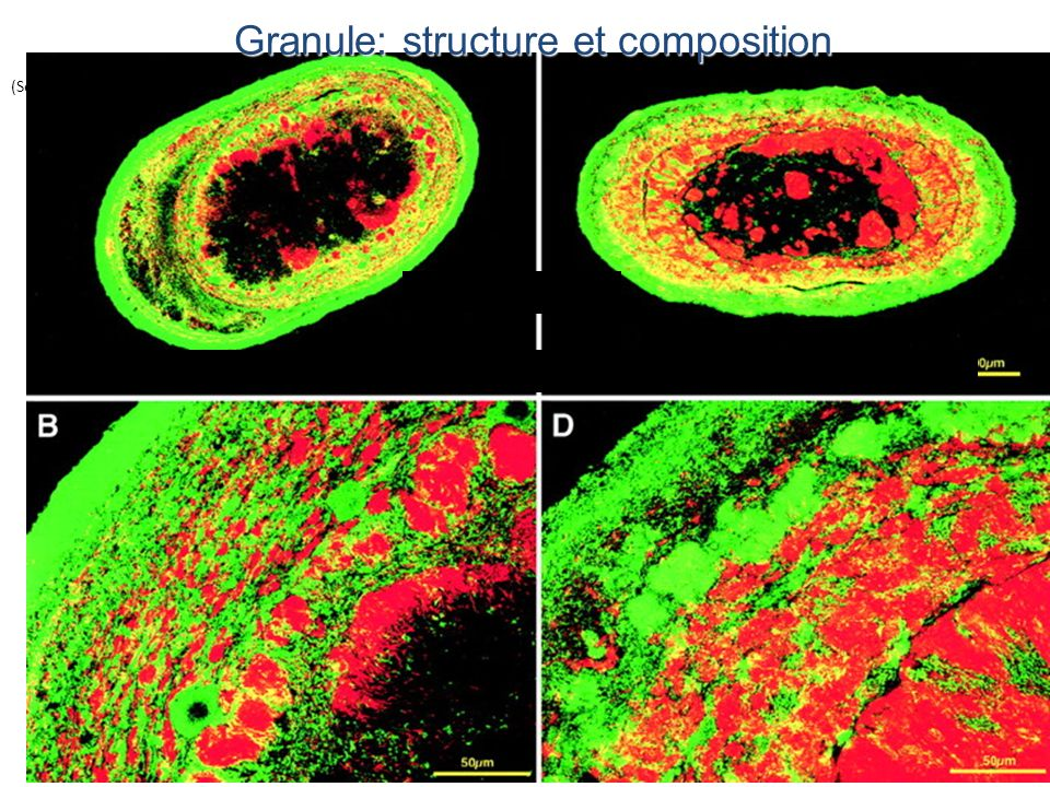 Réacteur à boue granulaire enrichie avec du sucrose (Sekiguchi et al., 1999) Granule: structure et composition Eubacteria (vert) Archaea (rouge)