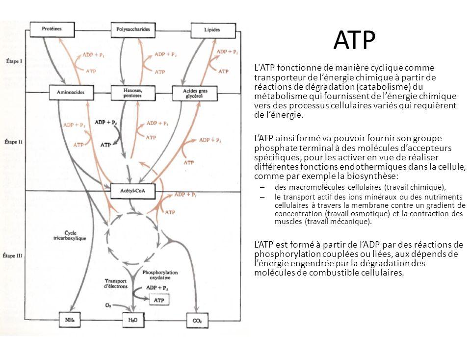 ATP L'ATP fonctionne de manière cyclique comme transporteur de lénergie chimique à partir de réactions de dégradation (catabolisme) du métabolisme qui