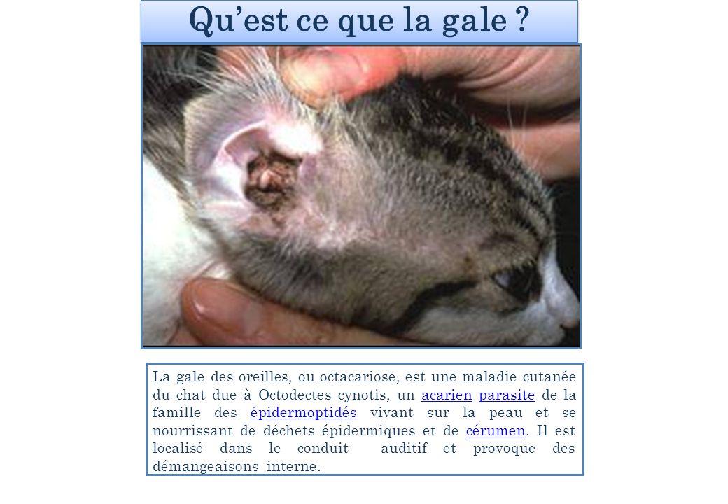 Quest ce que la gale ? La gale des oreilles, ou octacariose, est une maladie cutanée du chat due à Octodectes cynotis, un acarien parasite de la famil
