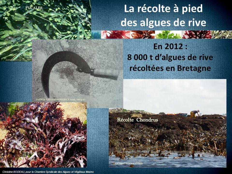Christine BODEAU, pour la Chambre Syndicale des Algues et Végétaux Marins La récolte à pied des algues de rive En 2012 : 8 000 t dalgues de rive récol