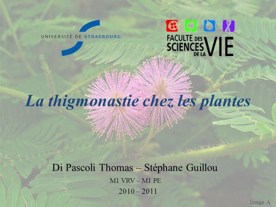 La thigmonastie chez les plantes Di Pascoli Thomas – Stéphane Guillou M1 VRV – M1 PE 2010 – 2011 Image A