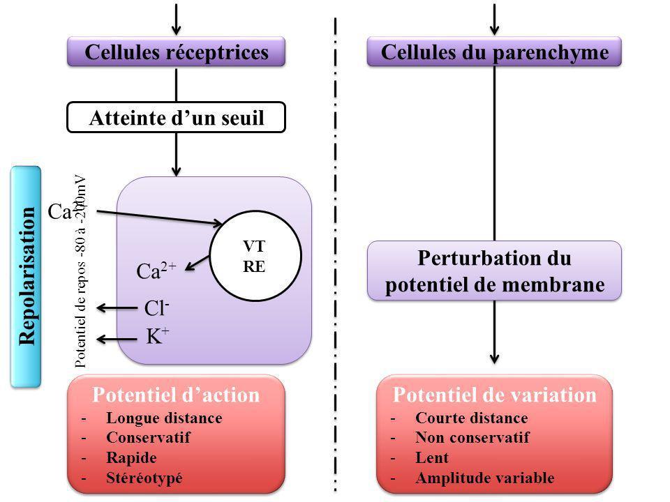 Cellules réceptrices Cellules du parenchyme Atteinte dun seuil VT RE Ca 2+ Cl - K+K+ Potentiel daction -Longue distance -Conservatif -Rapide -Stéréotypé Potentiel daction -Longue distance -Conservatif -Rapide -Stéréotypé Potentiel de variation -Courte distance -Non conservatif -Lent -Amplitude variable Potentiel de variation -Courte distance -Non conservatif -Lent -Amplitude variable Perturbation du potentiel de membrane Potentiel de repos -80 à -200mV Dépolarisation Repolarisation