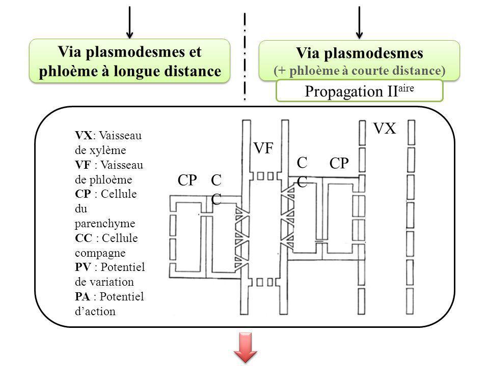 Via plasmodesmes et phloème à longue distance Via plasmodesmes (+ phloème à courte distance) Via plasmodesmes (+ phloème à courte distance) VX: Vaisseau de xylème VF : Vaisseau de phloème CP : Cellule du parenchyme CC : Cellule compagne PV : Potentiel de variation PA : Potentiel daction VX CPC PA PV CP C Substance de blessure VF Propagation II aire