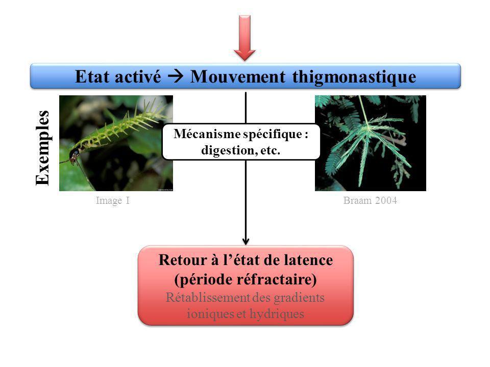 Etat activé Mouvement thigmonastique Exemples Mécanisme spécifique : digestion, etc. Retour à létat de latence (période réfractaire) Rétablissement de