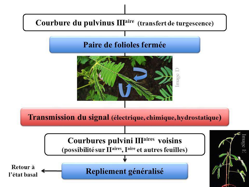 Courbure du pulvinus III aire (transfert de turgescence) Transmission du signal (électrique, chimique, hydrostatique ) Paire de folioles fermée Courbu