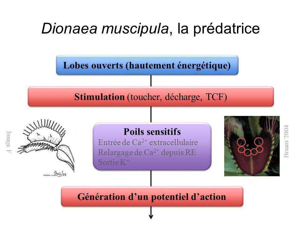 Dionaea muscipula, la prédatrice Stimulation (toucher, décharge, TCF) Poils sensitifs Entrée de Ca 2+ extracellulaire Relargage de Ca 2+ depuis RE Sor