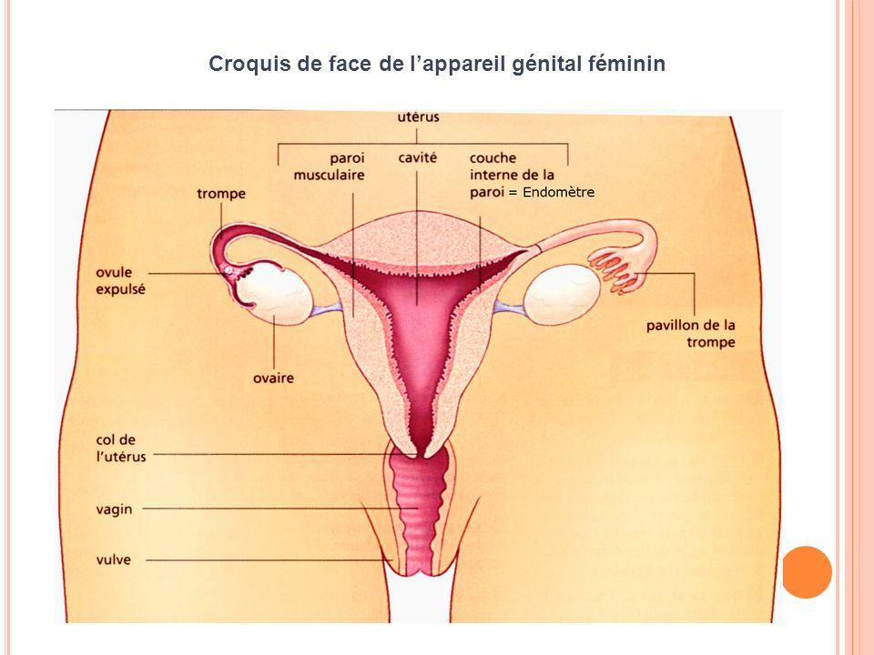Croquis de profil de lappareil génital féminin et des organe qui lentoure