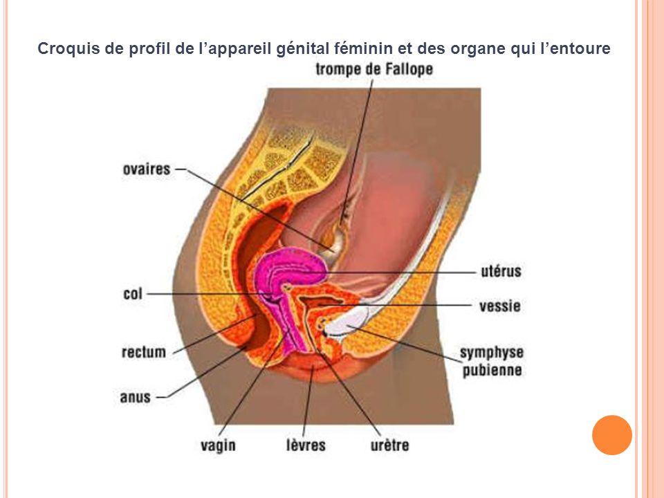 2.L ES ORGANES REPRODUCTEURS FÉMININS ONT UN FONCTIONNEMENT CYCLIQUE DE LA PUBERTÉ À LA MÉNOPAUSE.