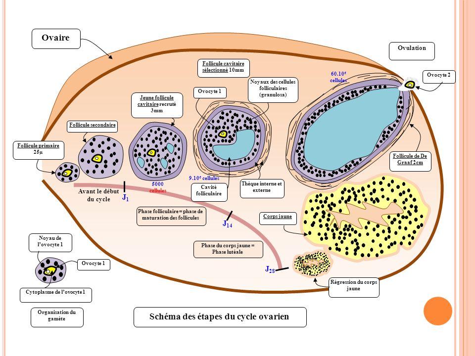 Follicule cavitaire Follicule primaire Ovocyte A Le cycle ovarien A chaque cycle un follicule primaire se développe.
