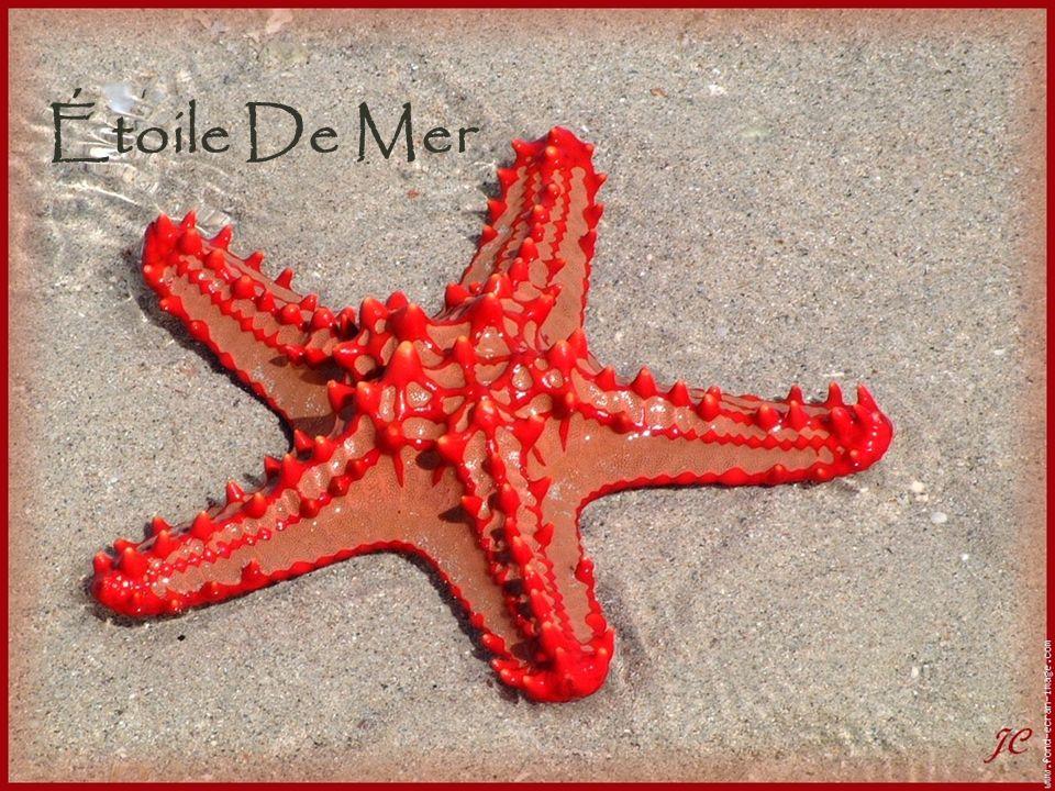 Apparence Les étoiles de mer sont des invertébrés.