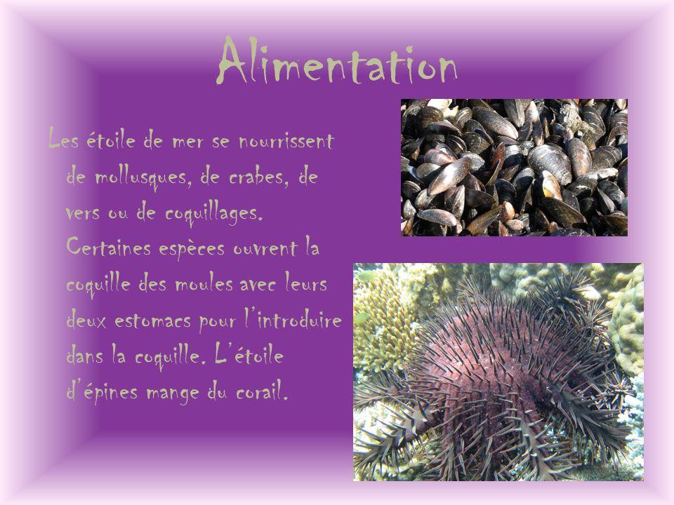 Alimentation Les étoile de mer se nourrissent de mollusques, de crabes, de vers ou de coquillages. Certaines espèces ouvrent la coquille des moules av