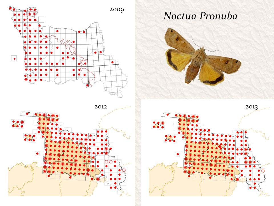 Noctua Pronuba 20122013 2009