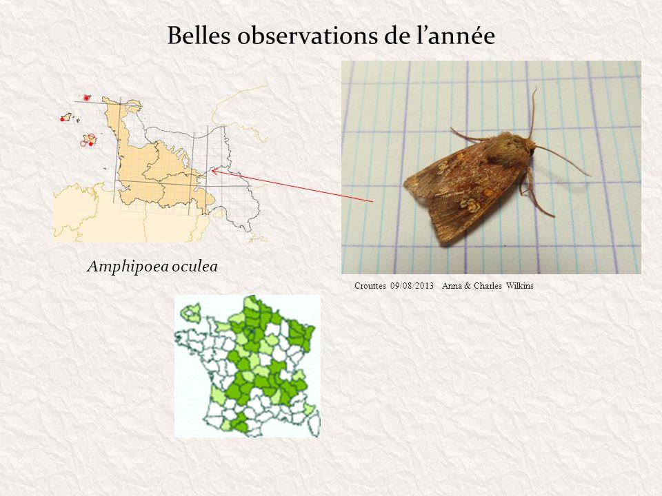 Belles observations de lannée Amphipoea oculea Crouttes 09/08/2013Anna & Charles Wilkins