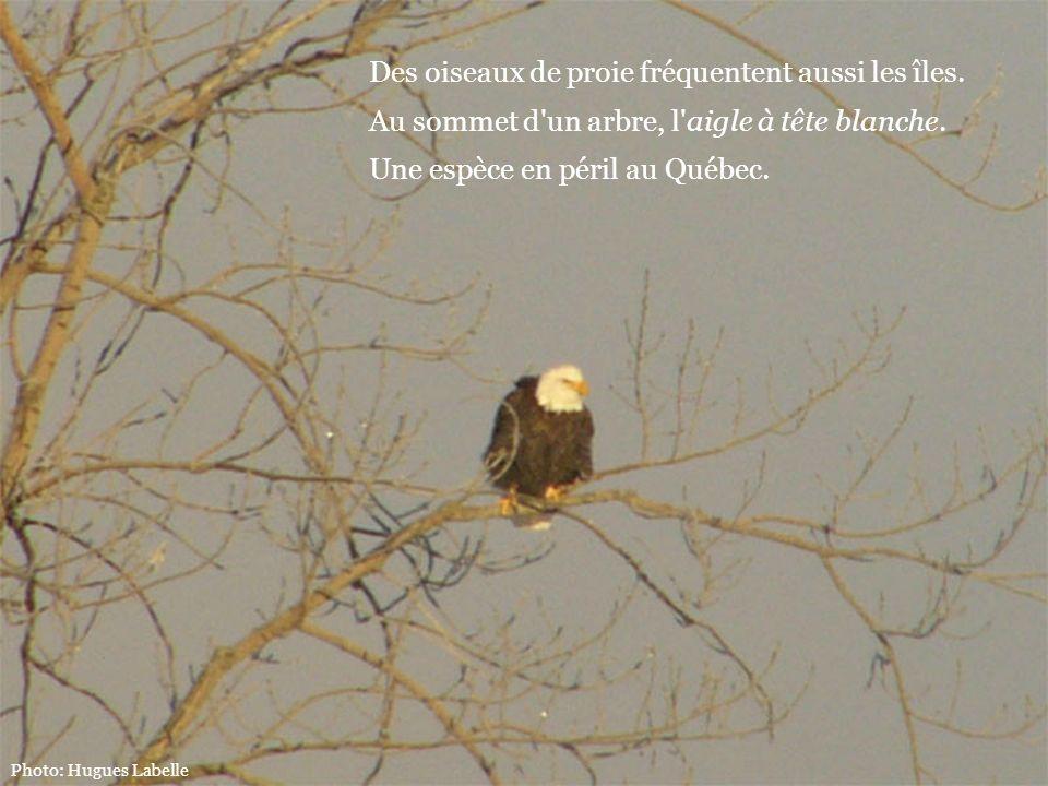 Des oiseaux de proie fréquentent aussi les îles. Au sommet d'un arbre, l'aigle à tête blanche. Une espèce en péril au Québec.