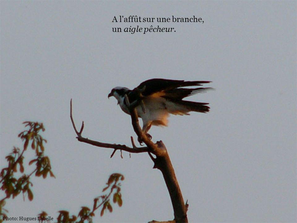 Photo: Hugues Labelle A l'affût sur une branche, un aigle pêcheur.