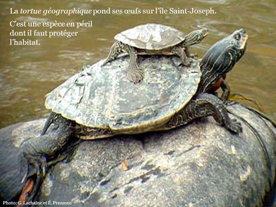 Photo: G. Lachaîne et É. Presseau La tortue géographique pond ses œufs sur lîle Saint-Joseph. Cest une espèce en péril dont il faut protéger lhabitat.