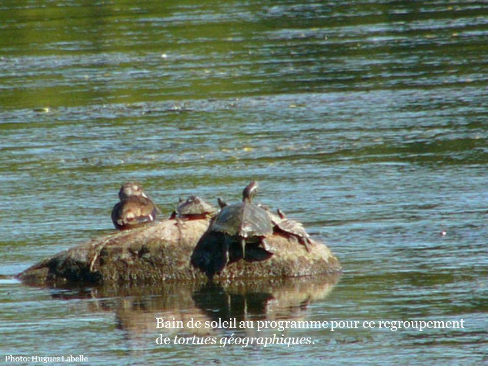 Photo: Hugues Labelle Bain de soleil au programme pour ce regroupement de tortues géographiques.