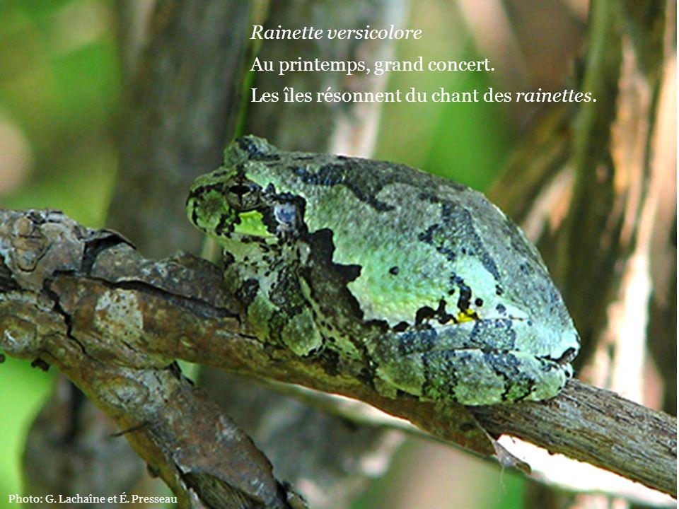 Rainette versicolore Au printemps, grand concert. Les îles résonnent du chant des rainettes. Photo: G. Lachaîne et É. Presseau