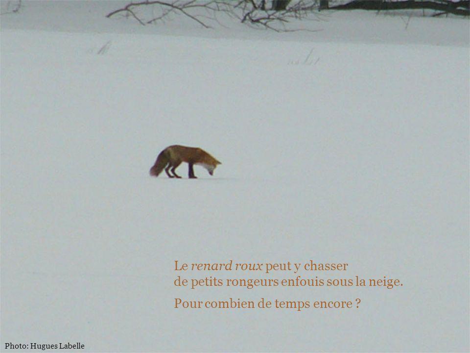 Le renard roux peut y chasser de petits rongeurs enfouis sous la neige. Pour combien de temps encore ?