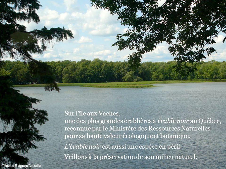 Sur l'île aux Vaches, une des plus grandes érablières à érable noir au Québec, reconnue par le Ministère des Ressources Naturelles pour sa haute valeu
