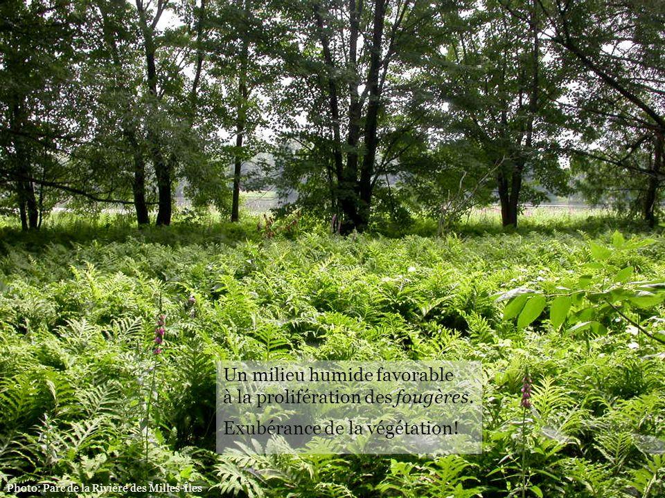 Photo: Parc de la Rivière des Milles-Îles Un milieu humide favorable à la prolifération des fougères. Exubérance de la végétation!