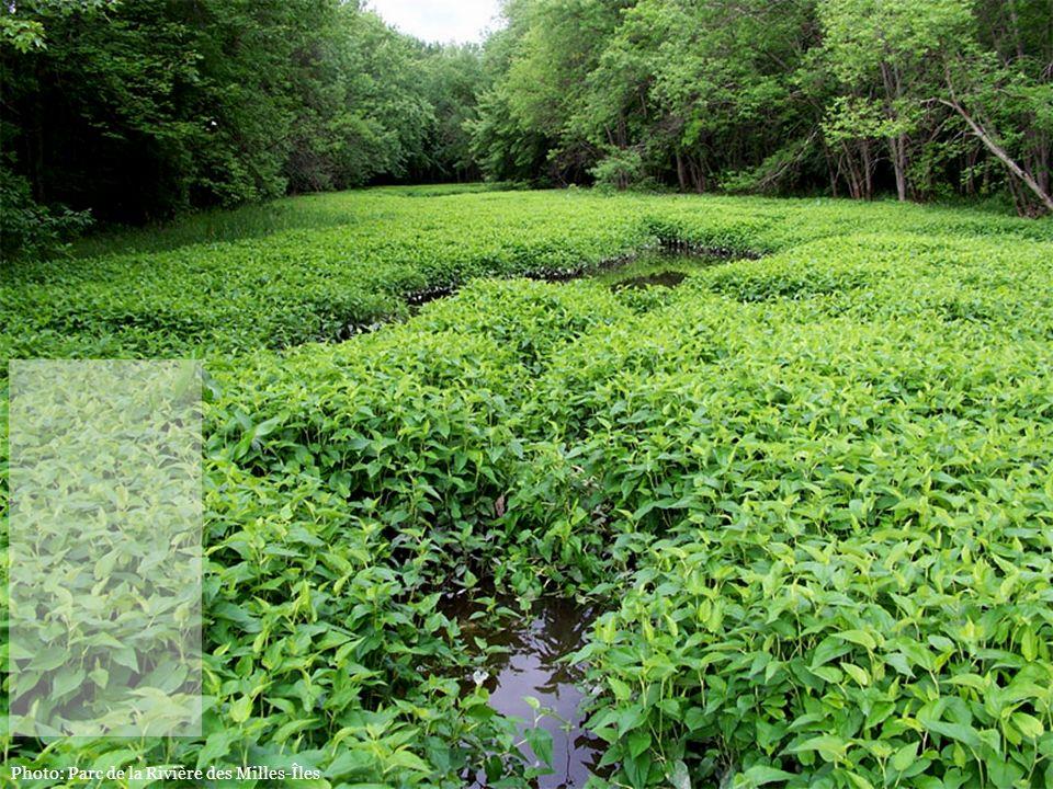Photo: Parc de la Rivière des Milles-Îles Protégeons lhabitat de lune des plus grandes colonies de lézardelle penchée au Québec, une espèce en péril.