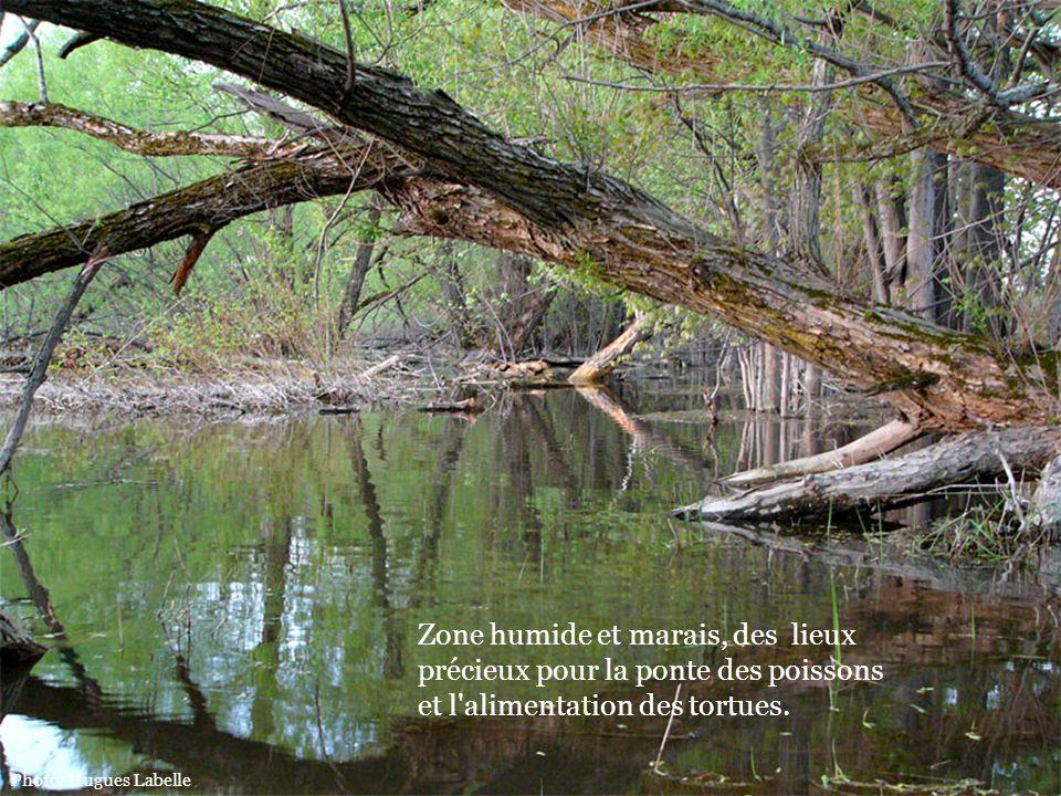 Zone humide et marais, des lieux précieux pour la ponte des poissons et l'alimentation des tortues. Photo: Hugues Labelle