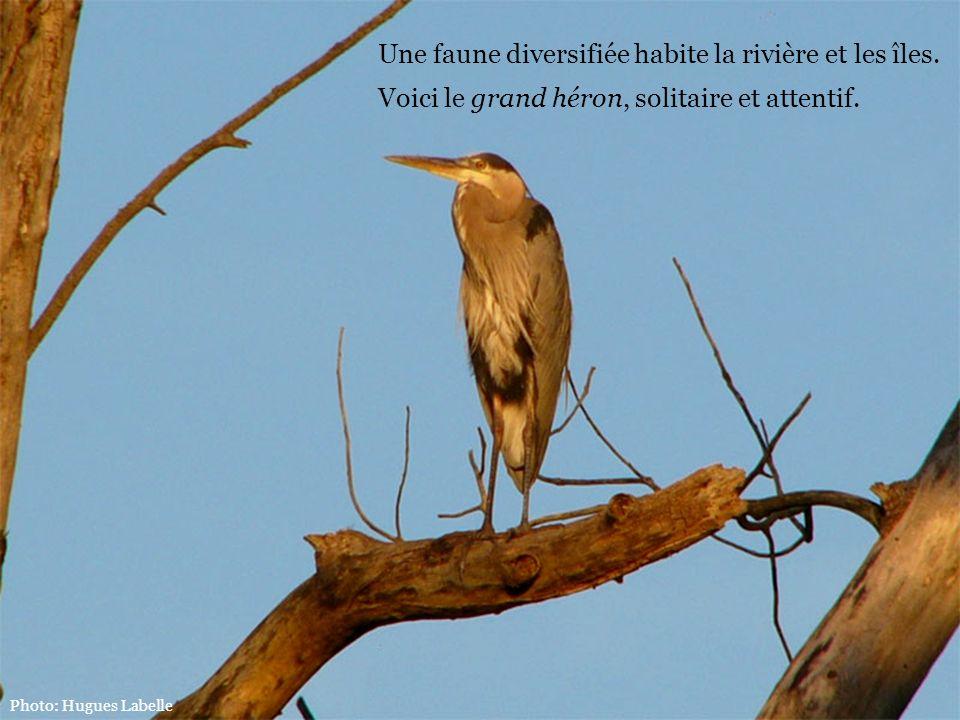Une faune diversifiée habite la rivière et les îles. Voici le grand héron, solitaire et attentif. Photo: Hugues Labelle