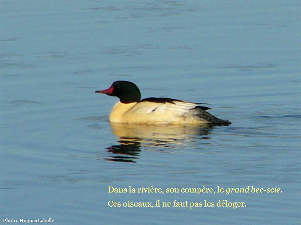 Dans la rivière, son compère, le grand bec-scie. Ces oiseaux, il ne faut pas les déloger. Photo: Hugues Labelle