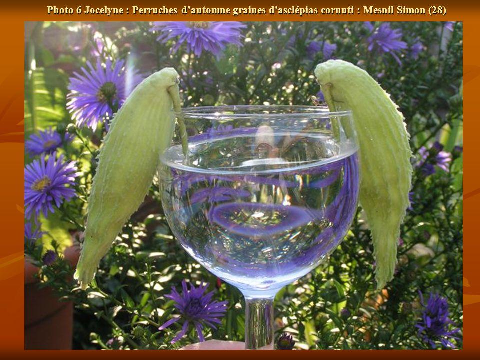 Photo 6 Jocelyne : Perruches dautomne graines d asclépias cornuti : Mesnil Simon (28)