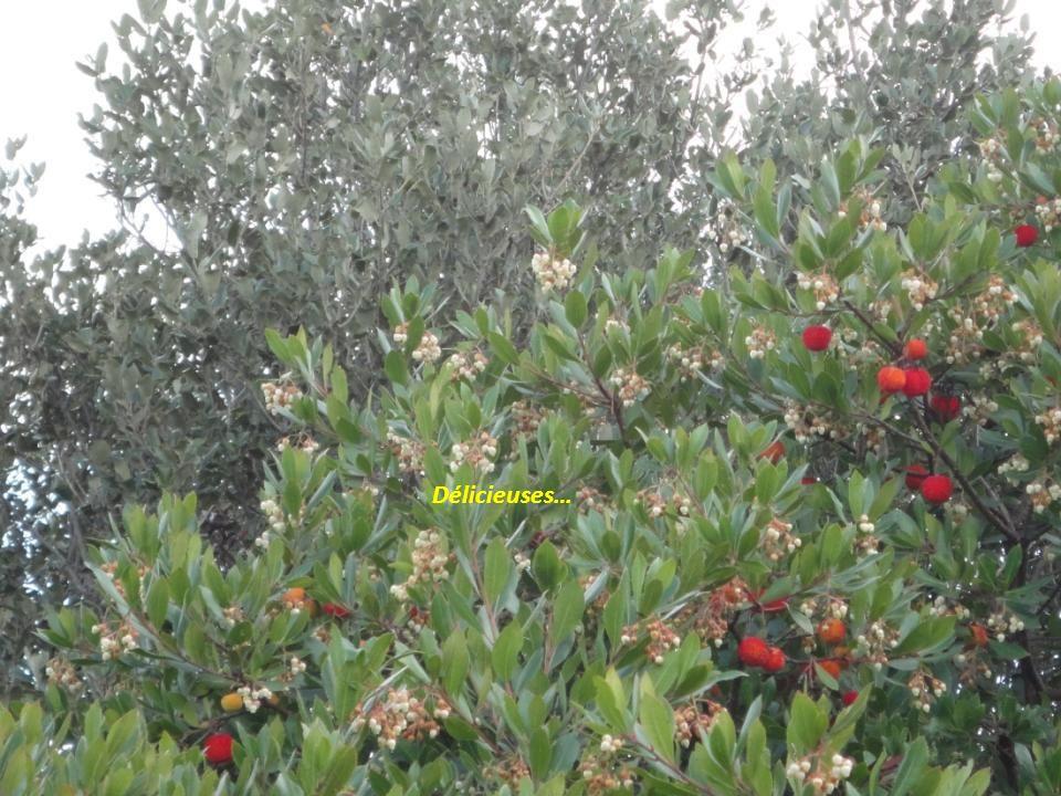 Arbousier: « Le seul arbre fruitier qui donne à la fois des fruits et des fleurs