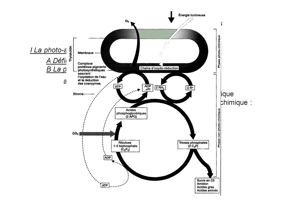 Diversité et complémentarité des métabolismes I La photo-autotrophie pour le C. A Définition B La photosynthèse dans le chloroplaste a. Les étapes de