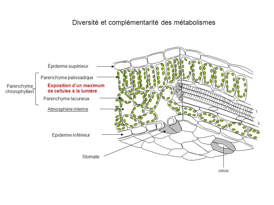 Diversité et complémentarité des métabolismes ostiole Parenchyme chlorophyllien 1 2 Parenchyme palissadique Épiderme supérieur Parenchyme lacuneux Atm