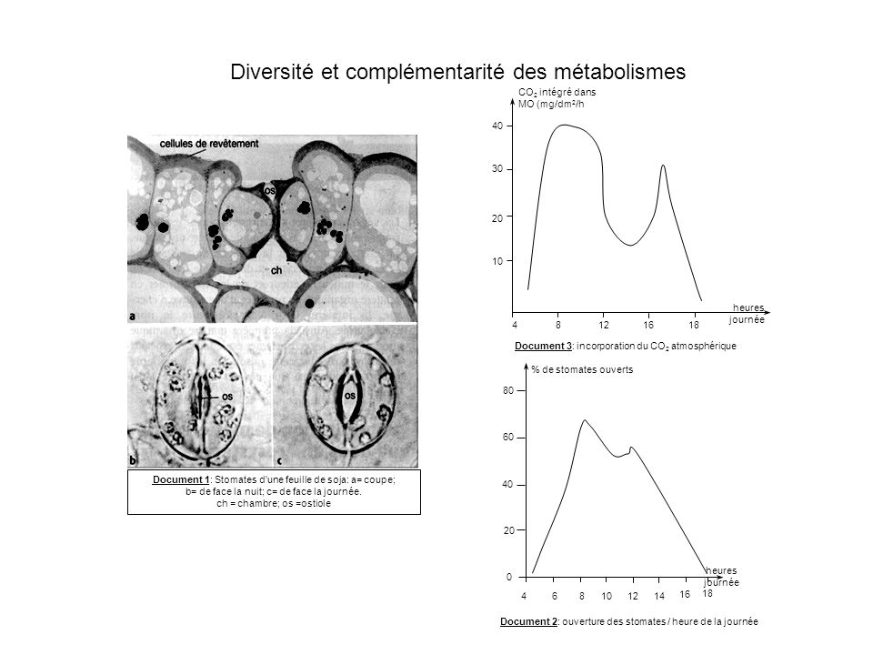 Diversité et complémentarité des métabolismes Document 1: Stomates d'une feuille de soja: a= coupe; b= de face la nuit; c= de face la journée. ch = ch